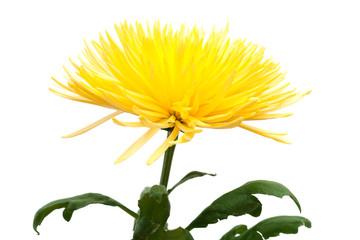 yellow Chrysanthemum,