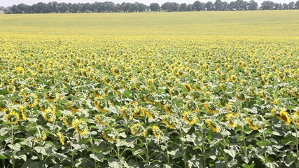 field with sunflowers on a background of forest planting