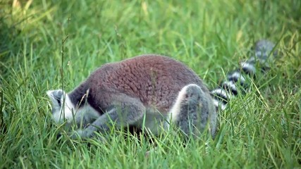 Ring-Tailed Lemur In The Grass (Lemur Catta)