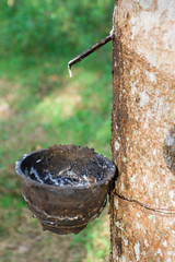 Latex of para rubber from rubber tree