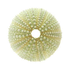 sea urchin skeleton