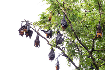 fruit bat on tree