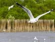 Obrazy na płótnie, fototapety, zdjęcia, fotoobrazy drukowane : White seagull soaring in the rain forest background