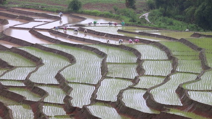 farmers working plant rice in terrace farm land and raining