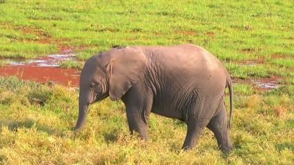 Baby elephant eating grass.