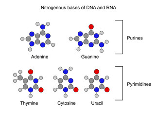 Purine and pyrimidine nitrogenous bases - chemical formulas