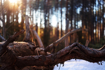snow and sun in the forest