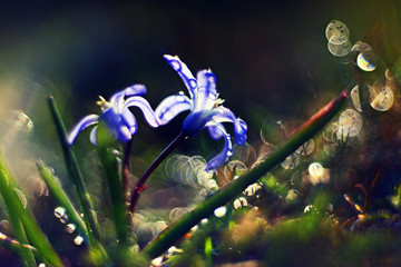 blue small flowers snowdrops, spring landscape