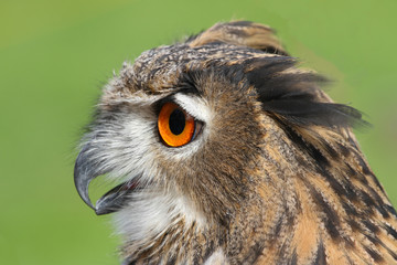 OWL with huge orange eyes and soffgli the open beak