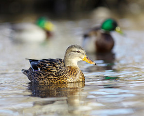 mallard duck on the river