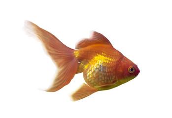 orange goldfish isolated on white