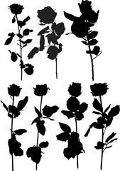 seven black rose isolated flowers