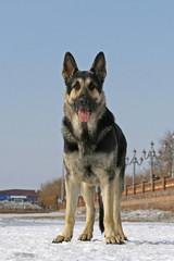 Standing east shepherd dog