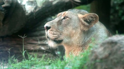 Profile of Female Lion