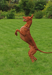 Dancing pharaoh hound