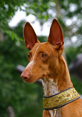 Pharaoh hounds portrait