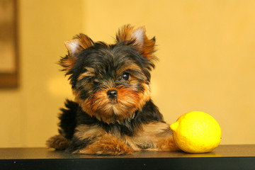 The Yorkshire Terrier puppy