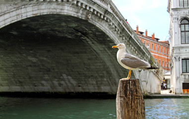 Great Black-headed Gull on the Grand Canal and the Rialto Bridge