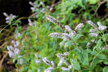 Wild mint flowers