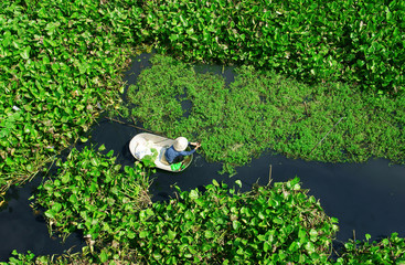 people harvesting vegetable in polluted water