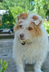Small white dog 1