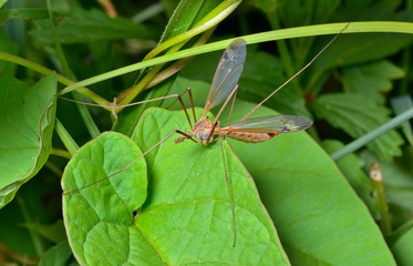 Insect daddy-long-legs 5