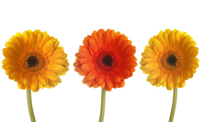 Three colorful gerberas in a row