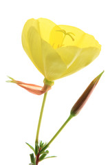 Gemeine Nachtkerze (Oenothera biennis)