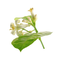Branch of a lemon tree with flowers Isolated on white