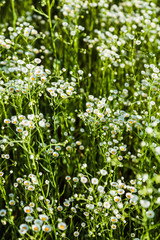 Wildflowers. Matrikariya.