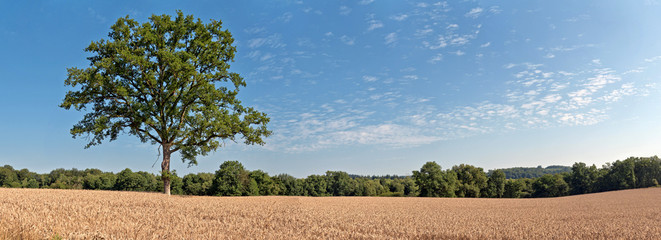 Solitude green tree in wheat field with blue cloudy sky. Panoram