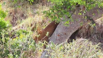 Jaguar descending from a tree.
