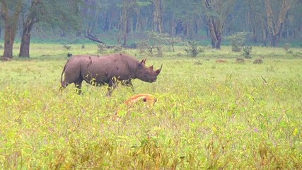 Black Rhino Walking