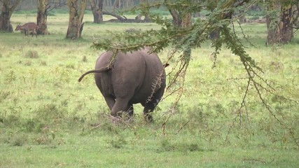 Black rhino marks its territory with urine.