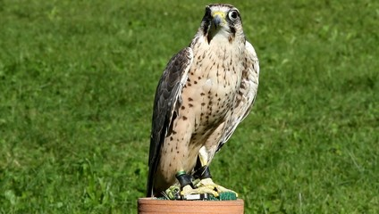 young Peregrine Falcon in the mountains with the meadow in the b