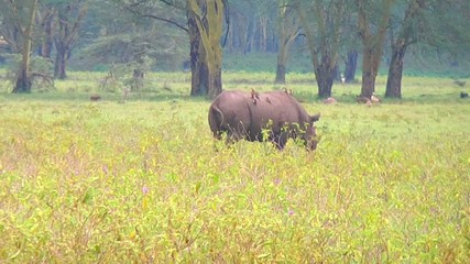 Rhino goes on savanna.