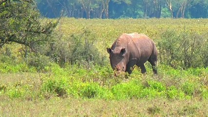 Black rhino eating grass.