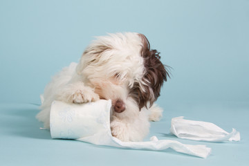 Boomer puppy with toilet paper