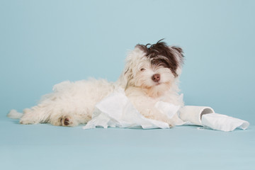 Cute boomer puppy with toilet paper