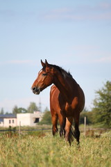 Brown horse at the pasture