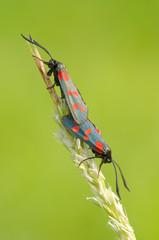 Farfalla Zygaena