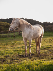 Ordinary white horse