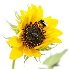 Hummel sammelt Blütenpollen auf Sonnenblume