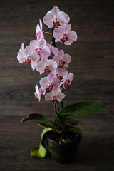 Pink Stripes on White Orchid