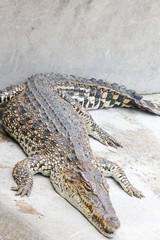 Crocodile is sleeping in the farm