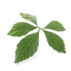 Ginseng Leaf