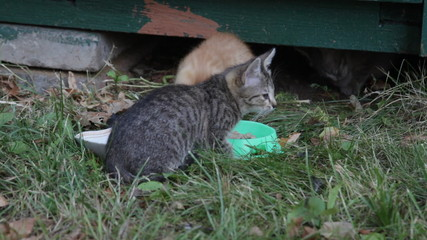 Street kittens eat a forage from the bowl