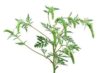 stem green ambrosia on a white background