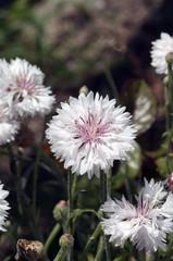 Kornblume; Centaurea; cyanus;