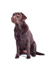 brauner Labrador Retriever sitzt